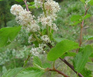 Red Stem Ceanothus in bloom
