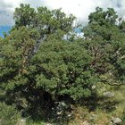 Mountain Mahogany in its natural setting