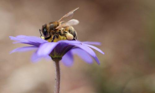 Honeybee in spring