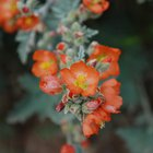 A close up view of the native globemallow.