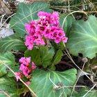 Pink blooms of Bergenia